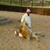 Lion Playing with his Arab Master