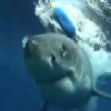 Shark Breaks Open Shark Cage